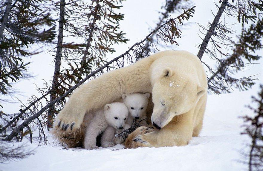 элементы картинки белого медведя с детенышами как