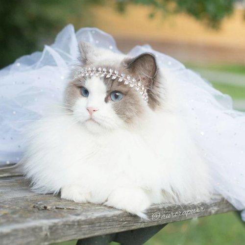 Пушистая красавица-кошка Аврора (10 фото)