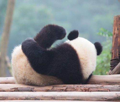 Большие панды больше не являются исчезающим видом!