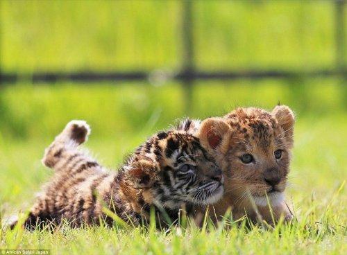 В японском сафари-парке живут неразлучные друзья — львёнок и тигрёнок (15 фото)