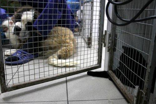 Спасённый кот Люцифер помогает ухаживать за животными в пермской ветклинике (11 фото)