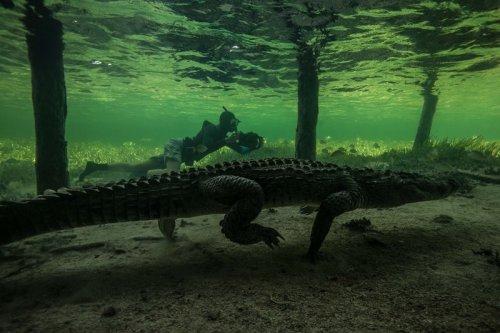 Подводные фотографии с крокодилами, сделанные Родриго Фриссьоне (9 фото)