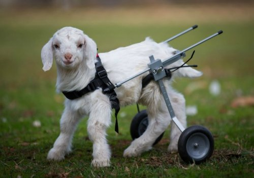 Топ-10: Очаровательные животные в инвалидных колясках