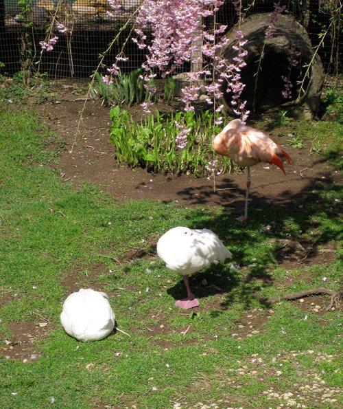 Утки, решившие, что они фламинго (9 фото)