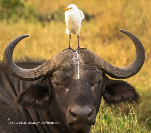 ������ ����������, ���������� �� ������� Comedy Wildlife Photography Awards-2016 (25 ����)