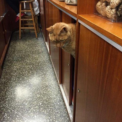 Рыжий кот Бобо, который работает в магазине (8 фото)