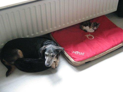 Наглые кошки, захватившие лежаки собак (30 фото)