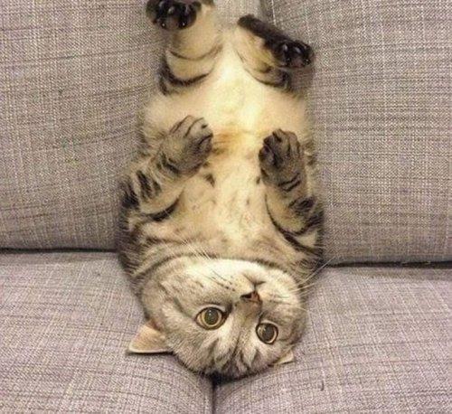 Смешные кошки, которые явно не знают, как пользоваться диваном (10 фото)