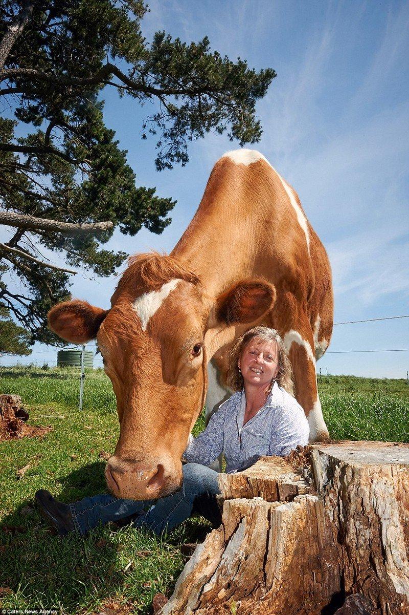 Большой Му - самая большая в мире корова