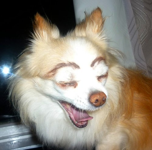 Собаки с бровями (16 фото)