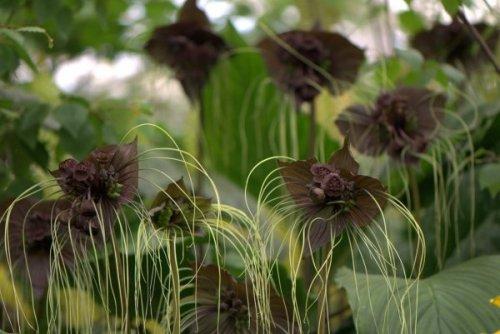 Экзотический цветок такка (15 фото)