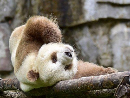 Единственная в мире коричневая панда живёт в Китае (12 фото)