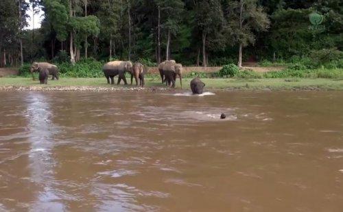 Слониха бросилась спасать плывущего по реке человека