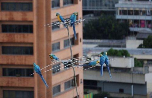 В Каракасе вместо воробьёв и голубей — попугаи ара (6 фото)
