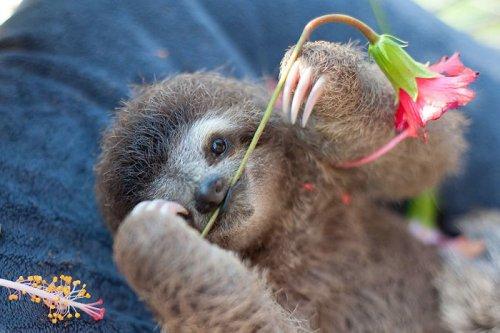 Очаровательные ленивцы (37 фото)