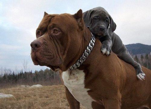 Щенки Халка проходят подготовку, чтобы стать лучшими сторожевыми псами (5 фото)