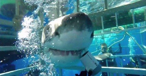 Большая белая акула во второй раз ворвалась в ту же клетку с тем же дайвером (3 фото + видео)