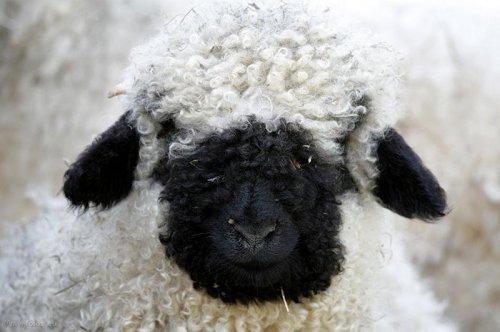 Страшно милые валлиские черноносые овцы (17 фото)