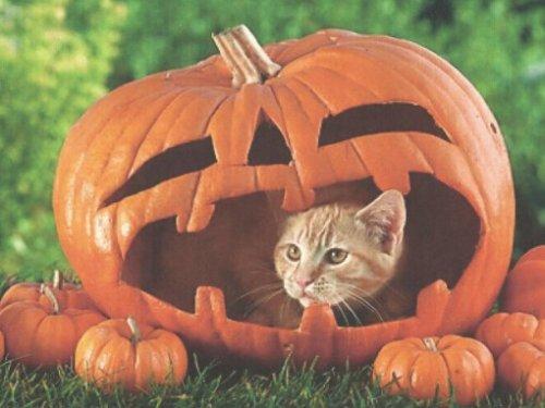 Кошки в тыквах (10 фото)