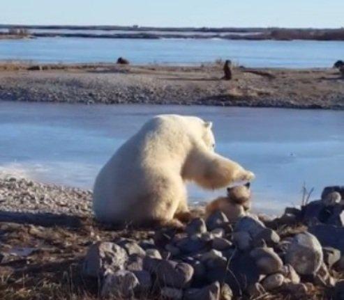 Редчайшие кадры: полярный медведь гладит собаку по голове