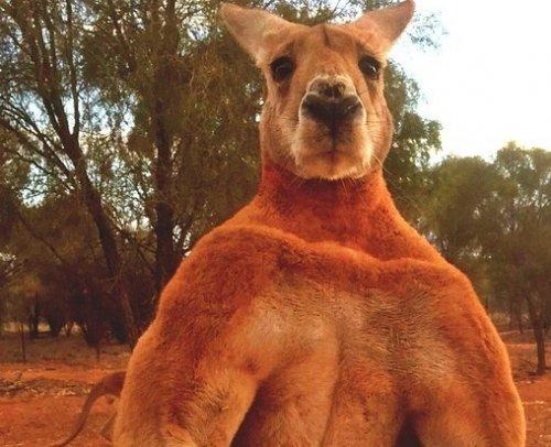 Ещё один мускулистый кенгуру сфотографирован в Австралии (3 фото)