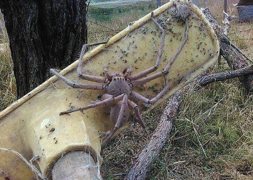 Фотография гигантского австралийского паука стала вирусной (2 фото)