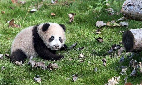 Первая панда, рождённая в Шанхае, делает свои первые шаги (10 фото + видео)