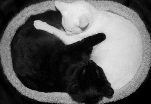 Кошки инь и ян: чёрное и белое (19 фото)