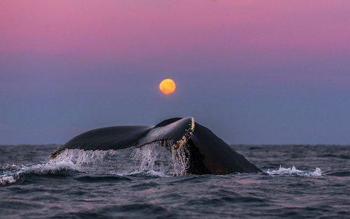 Захватывающие фотографии арктических китов, сделанные профессором биологии (28 фото)
