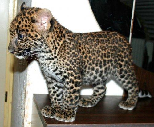 История ставшего никому не нужным леопарда Бакари, который, наконец, обрёл свой дом (15 фото)