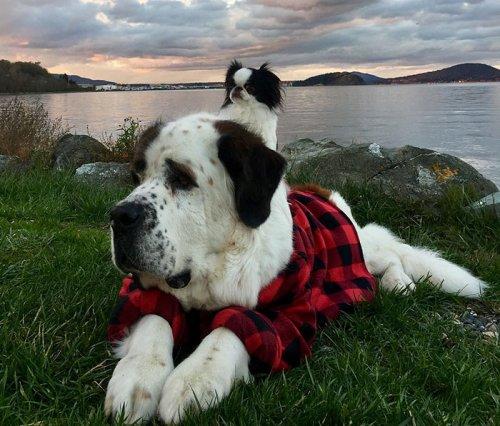 Маленькая собачка ездит на спине гигантского сенбернара, куда бы они ни отправились (9 фото)