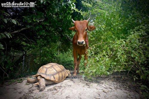 Необычная дружба телёнка со шпороносой черепахой (7 фото)
