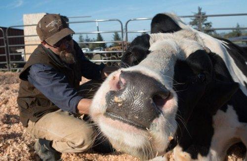 Дэнниел из Калифорнии — крупнейший бык в мире (8 фото)