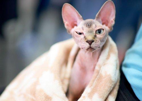 В Канаде бритых котят продают как канадских сфинксов (6 фото)