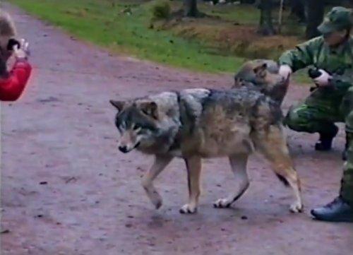 Сотрудница Кольморденского зоопарка поставила на место волка