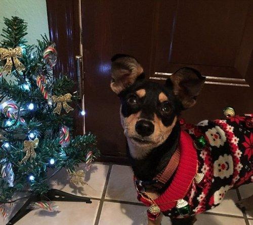 Собаки, которые любят Новый год (20 фото)