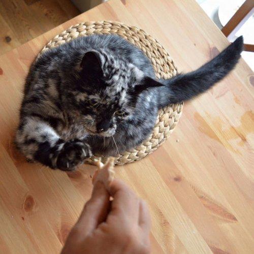 Кот Скрэппи с необычным окрасом шерсти из-за витилиго (12 фото)