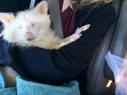 Спасённый енот-альбинос, которого назвали агрессивным, не перестаёт обниматься (11 фото)