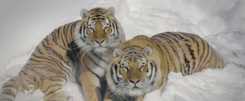 Дрон и тигры