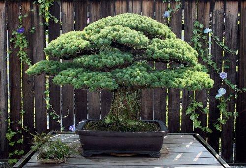 391-летний бонсай, переживший Хиросиму (2 фото)
