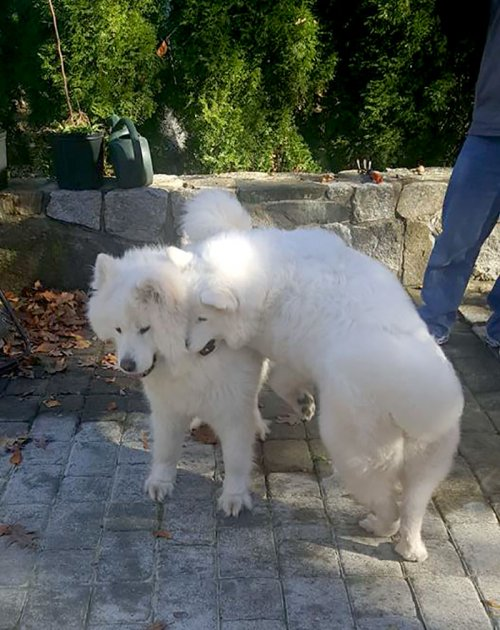 Выросшие вместе собаки встретились после нескольких месяцев разлуки (5 фото + видео)