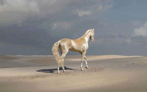 Ахалтекинская лошадь: невероятно редкая порода самых красивых лошадей в мире (6 фото)
