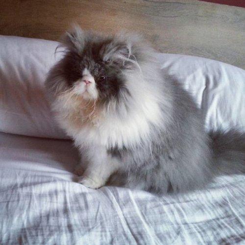 Длинношерстный кот Цезарь покоряет Instagram (17 фото)