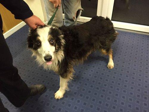 Невероятная история пропавшей собаки, в течение двух месяцев преодолевшей 80 км, чтобы найти свою хозяйку (7 фото)