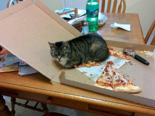 Кошки-проказницы (12 фото)