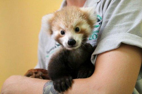 Очаровательный детёныш малой панды не перестаёт обниматься с игрушкой, похожей на него (8 фото)