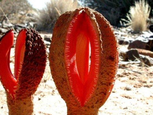 Африканская гиднора — необычное растение-паразит (9 фото)