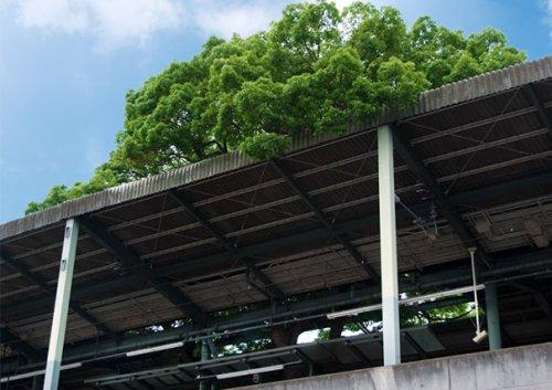 Эта японская ж/д станция была построена вокруг старого 700-летнего дерева и вот почему (7 фото)