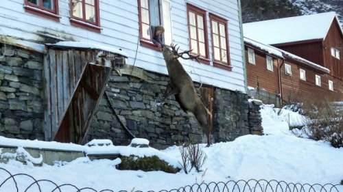 Норвежская пенсионерка приручила дикого оленя домашними печеньями