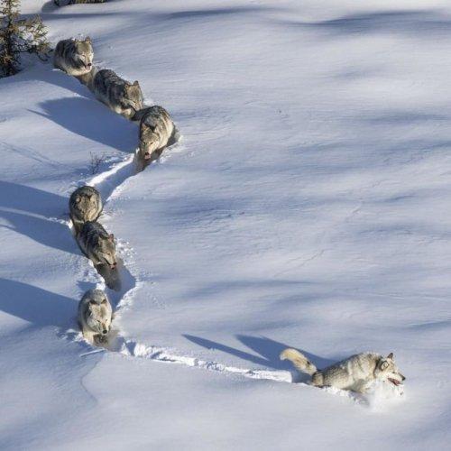 Фотография с волками стала новым мемом Рунета (9 фото)